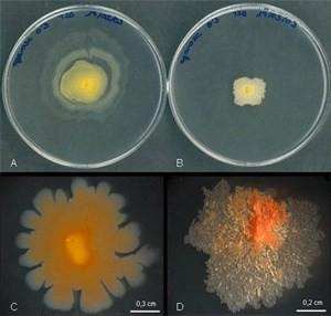 mycobacterium vaccae
